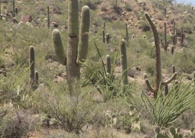 Forêt de Saguaros sur les collines, près de Tucson (Arizona)