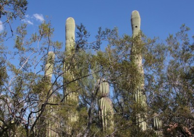 Toujours les  Saguaros et la végétation du désert de Sonora