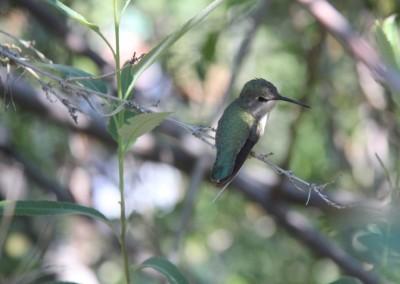 Oiseau-mouche pas farouche