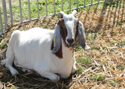 Festival de Nogent/Oise : la mini-ferme