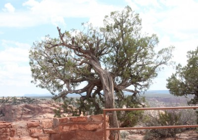 Le Canyon de Chelly :  végétation