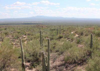 Désert de Sonora : Paysage de cactus