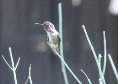 Dans la volière du musée... les mockingbirds (oiseaux-mouches) viennent vous voir de près !